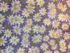 "Daisies on Lavender 2018 - 8"" round"